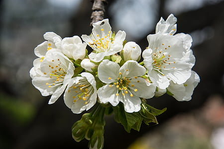 cherry blossom, white, blossom, bloom, white blossom, spring