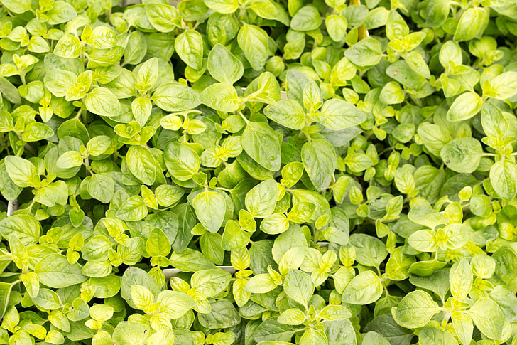 bazalka, Zelená, Kuchyňa korenia, Stredomorská, rastlín, listy