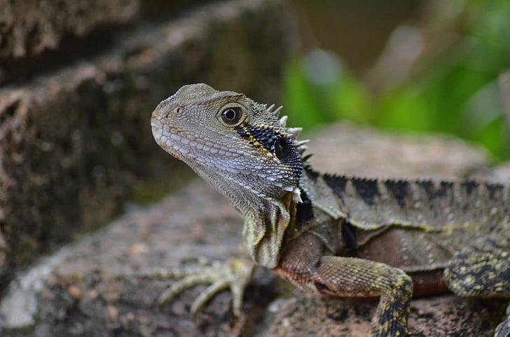 Sakallı Ejder, kertenkele, doğa, sürüngen, hayvan yaban hayatı, Iguana, vahşi hayvanlar