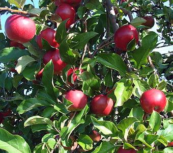 pomes, brillant, vermell, arbre, natura, fulles