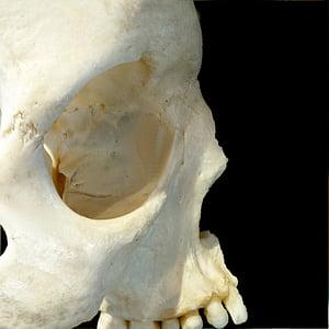 skull, profile, bone, human Skull, human Bone, anatomy, animal Skull