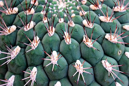 cactus, spur, ball cactus, thorns, cactus greenhouse, green