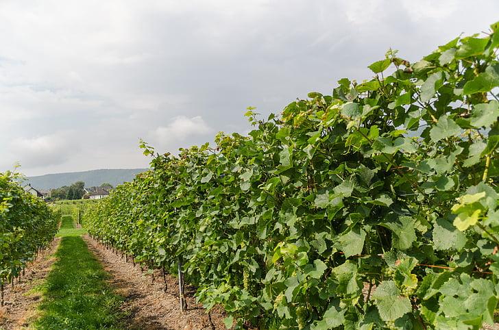 wine, vineyard, vines, winegrowing, nature, grapes, landscape