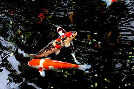 l'aigua, peix, Japó, carpa, animal, d'aigua dolça, peixos de colors