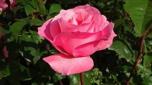 Roses, flors, rosa vermella, l'amor, pètals, flor rosa, flors roses