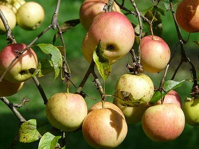 Яблоня, яблоко, фрукты, витамины, Фриш, здоровые, спелый