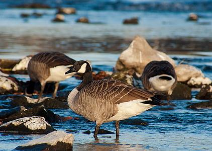 鳥, 自然, 鳥, 動物, 野生動物, ガチョウ, 水