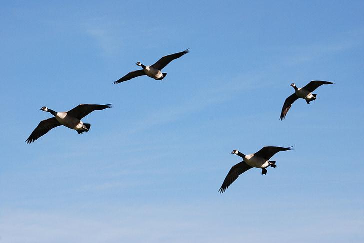 Канада гъски, Черни гъски canadensis, водолюбивите птици, кацане, природата, ято