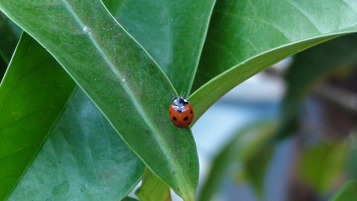 Mariquita, jardí, natura, insecte, fulla, vermell, verd