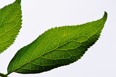 Leaf, rastlín, Príroda, Zelená