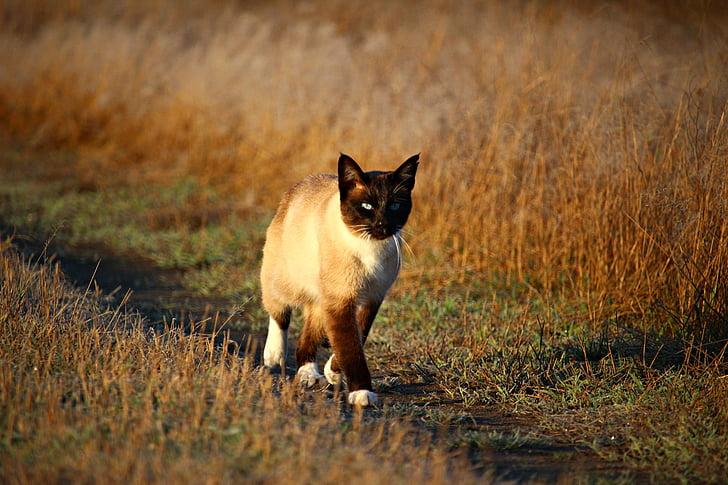 cat, mieze, siamese cat, kitten, siam, siamese, breed cat