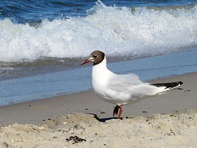 นกนางนวล, นางนวล, สง่างาม, นก, ชายหาด, ธนาคาร, น้ำ