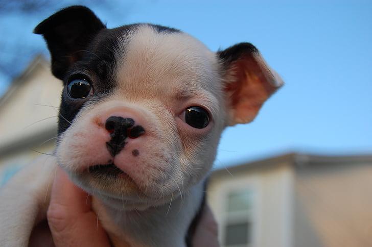 子犬, かわいい, 犬, かわいい子犬, 動物, 犬, ペット