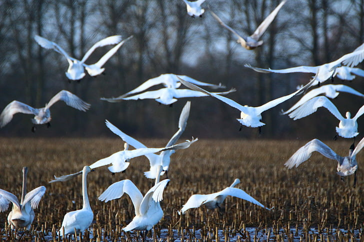 labod, ptica, labod, roj, poljščine, polje, ptice selivke