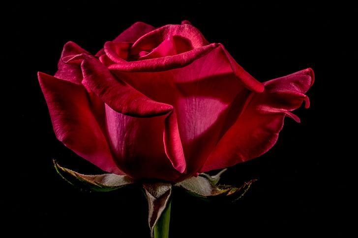 κόκκινο τριαντάφυλλο, τριαντάφυλλο, αυξήθηκε ανθίζουν, άνθος, άνθιση, λουλούδι, κόκκινο