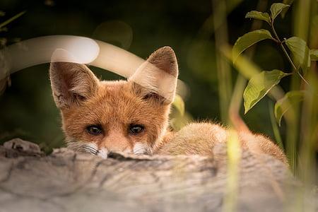 little fox, animals, nature, one animal, animal wildlife, animals in the wild, animal