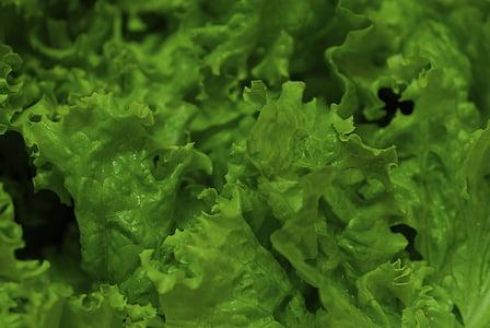 상 추, 야채, 야채, 녹색, 유기 농장, 건강 한, 정원