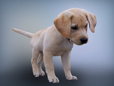 animal, dog, puppy, pet photography, young dog, labrador, isolated