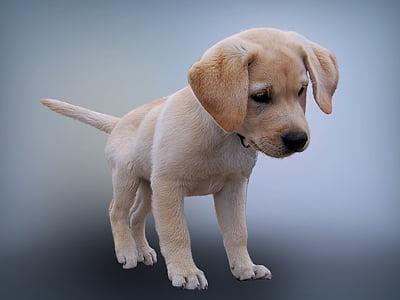 animal, gos, cadell, fotografia de mascotes, gos jove, Labrador, aïllats