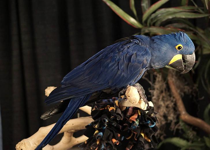 parrot, bird, blue, animal, nature, one animal, animal themes