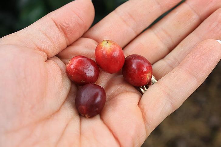 käed, kohvi, tera, kohvi terad, puuviljad