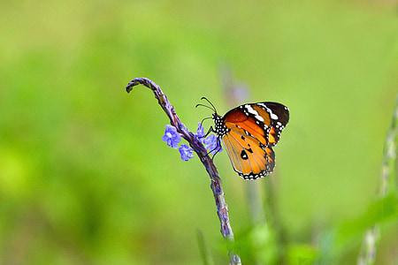 papallona, flors blaves, xuclen el nèctar, cobrir la papallona, Costa d'origen Ujung, l'illa de Java, Indonèsia