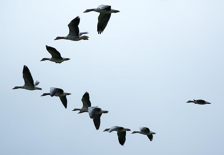 bildandet, flyttfåglar, gäss, vilda gässen, flock fåglar, svärm, fluga