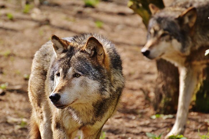 wolf, wild animal, predator, nature, animal, deer park, wolves