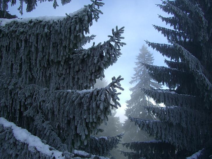 fir, winter forest, fog, snow, allgäu