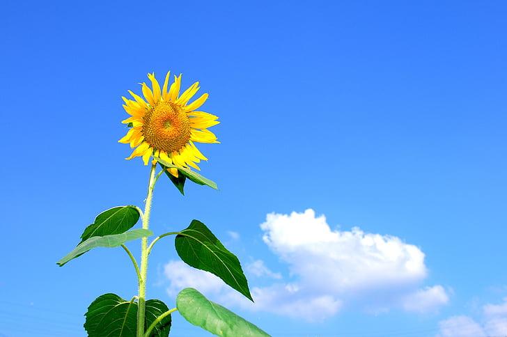 l'estiu, gira-sol, flors, cel, núvol, natura, planta