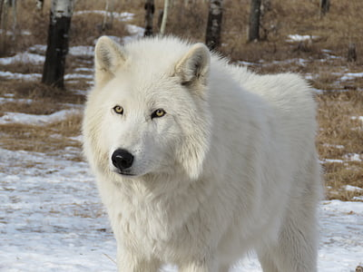 arctic wolfdog, wolfdog, wolf, dog, sanctuary, rehabilitation, fur