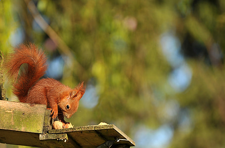squirrel, animal, young animal, young, nature, tree, nut