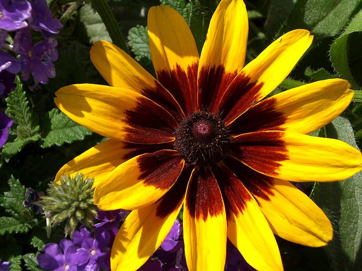 black-eyed susan, yellow daisy, daisy, brown-eyed daisy, rudbeckia, gloriosa daisy, native