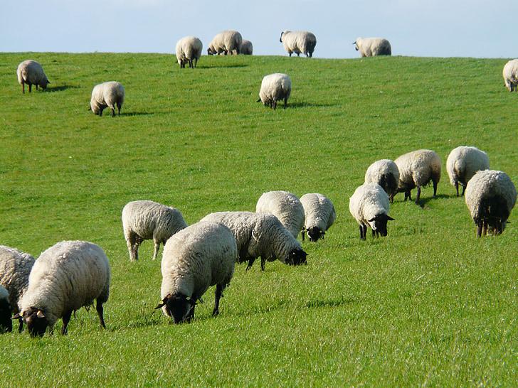 kudde schapen, schapen, Rhön schapen, Dijk, weide, gras, Noordzee