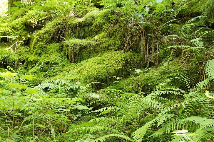 고 사리, 모스, 숲, 파울, 숲 바닥, 신비로운, 그린