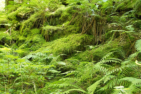 ferns, moss, forest, fouling, forest floor, mystical, green