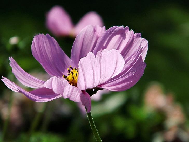 kosmee, pink, cosmos, blossom, bloom, summer, cosmea