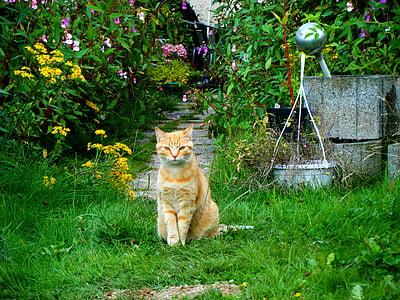 котка, Градина, червена котка, домашна котка, домашен любимец, млад котка, едно животно