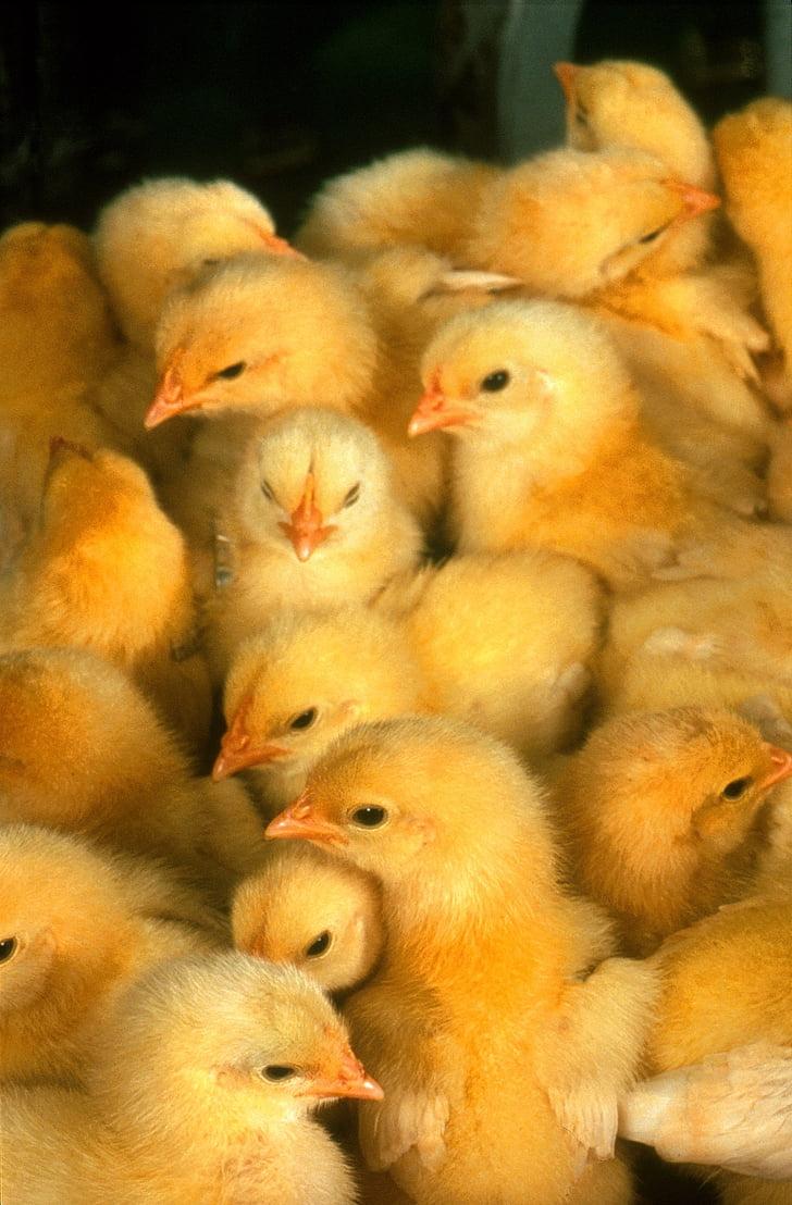 бебе пилета, пилета, жълто, Сладък, малки, младите, птици