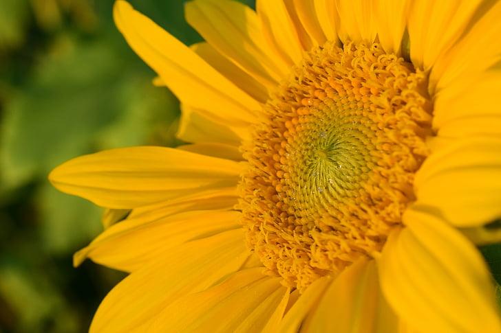태양 꽃, 닫기, 노란색, abendstimmung, 저녁 빛, 황금 빛, 꽃