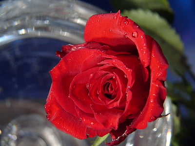 Rosa, flor rosa, flor, fragància, bonica, planta, jardí