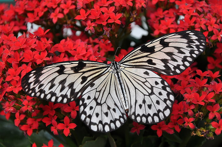 perhonen, valkoinen, musta, nymfi, Butterfly - hyönteisten, hyönteinen, eläinten wing