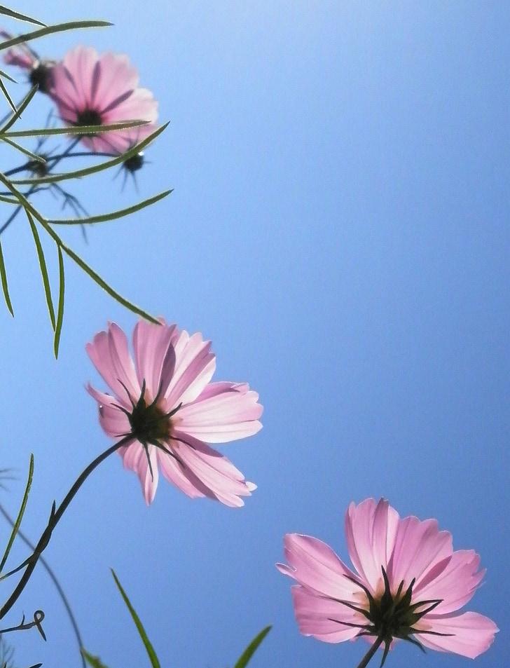 cosmea, розово, балкон, небе, синьо, настроение