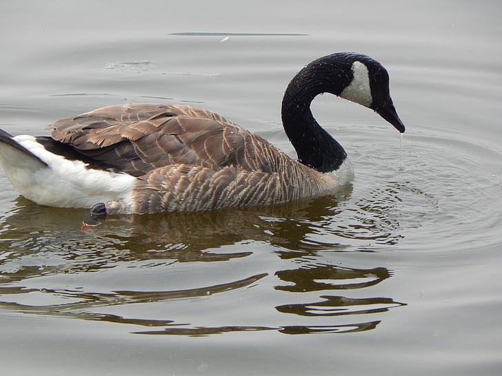 カナダのガチョウ, 水鳥, 自然, 水, 湖, 動物, 野生動物