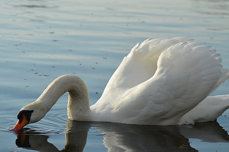 swan, pond, white, animals, nature, bird, water