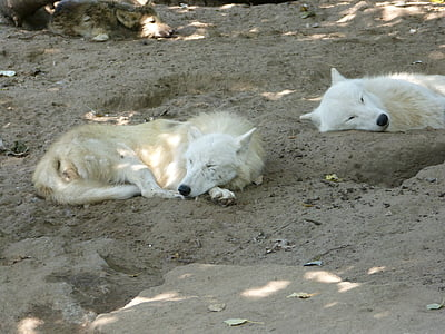 wolves, canine, carnivores, zoo, white