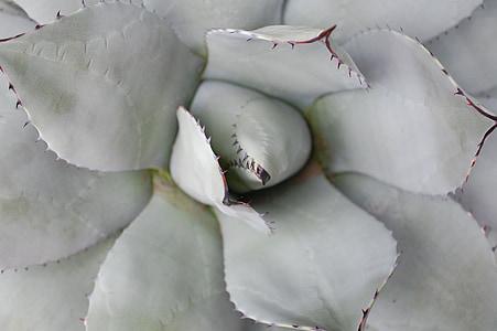 Aloe, pustinjska biljka, kaktus, pustinja, priroda, Botanika, sočan