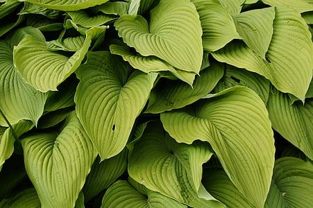 Zelená, listy, rastlín, štruktúra, textúra, pesto, pozadie