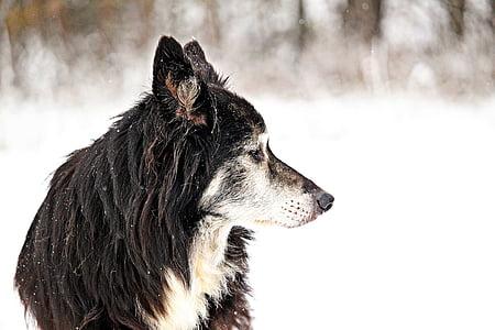 dog, border, snow, old dog, herding dog, british sheepdog, collie