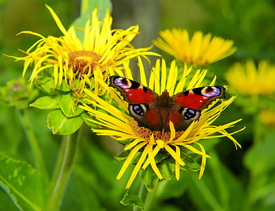 Peacock vlinder, edelfalter, vlinder, Peacock, vlinders, sluiten, bloem